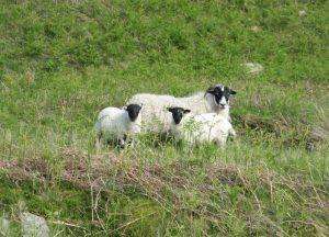 ewe-and-lambs-P2