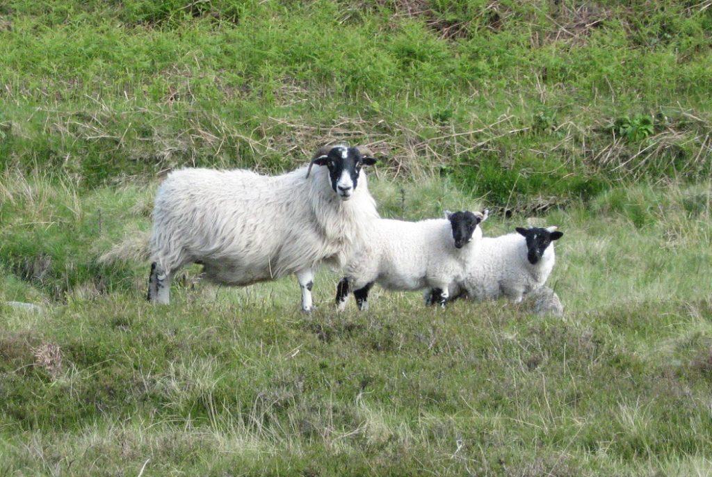 Blackface Sheep