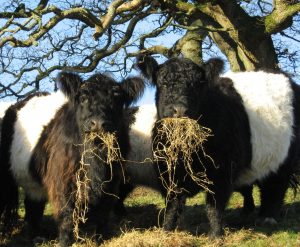 Kilnford Belties