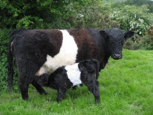 beltie feeding
