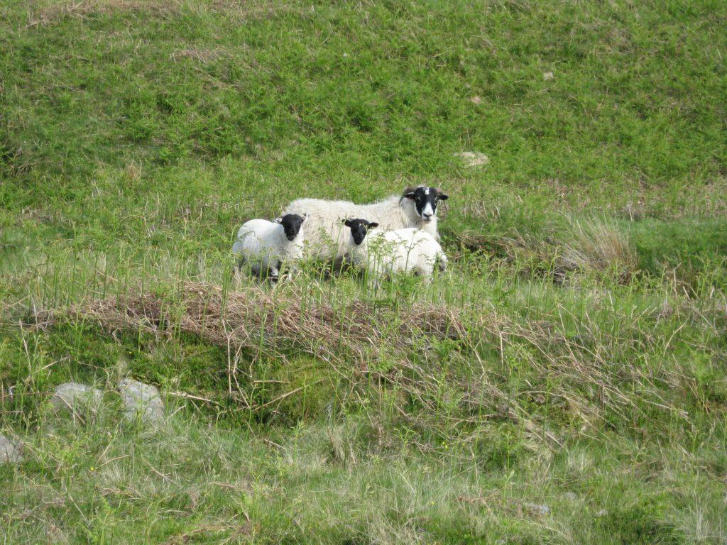 scottish blackface lamb