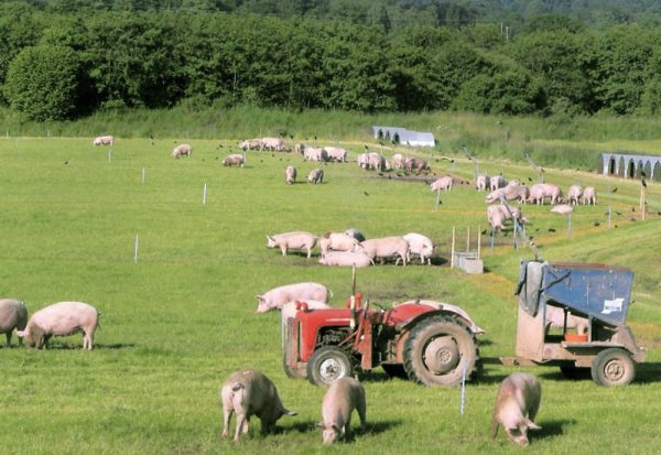 Kilnford Pigs